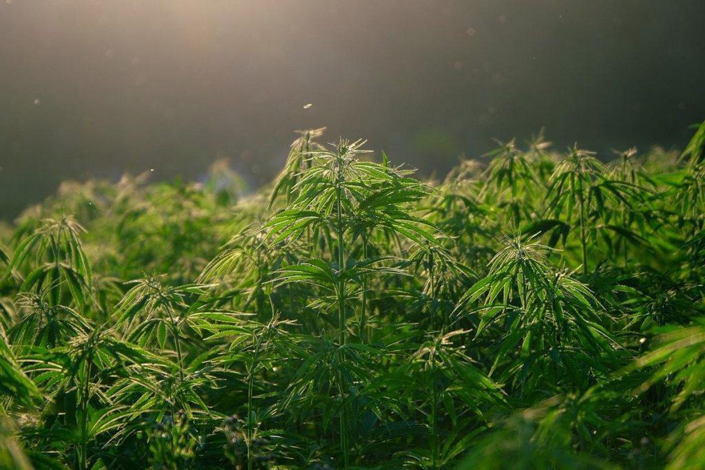 czy-stosowanie-medycznej-marihuany-ma-sens-img